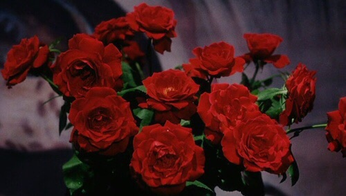 Boy And Girl With Rose Wallpaper Crimson Dark Red Maroon Red Rose Image 4511166 By