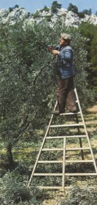 000 Olive cueillette SCAN0041~1