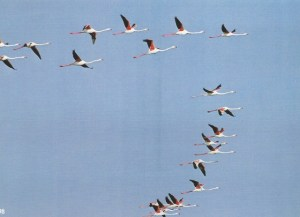 098 Flamants vol SCAN0088~1