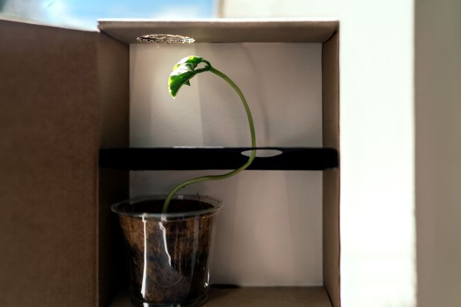 A plant in a cardboard box, growing in a twisted pattern through holes toward light at the top