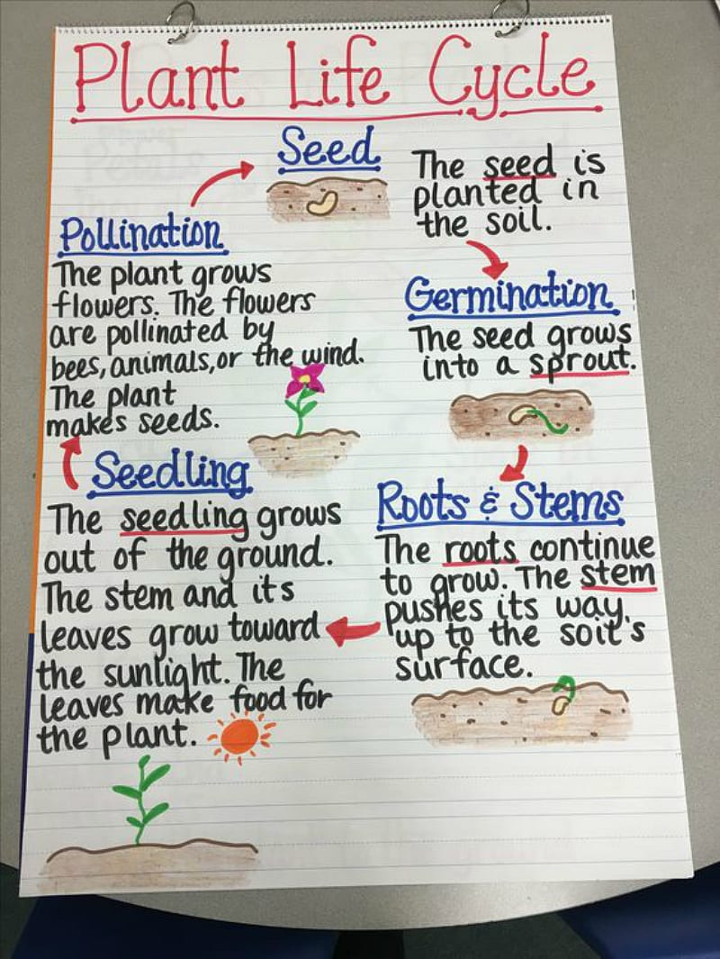 medium resolution of this anchor chart breaks down plant life cycle in an easy to understand diagram focusing on key vocabulary words like germination and pollination