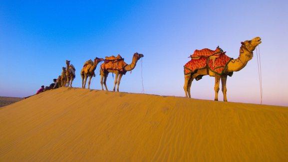 Hình ảnh những chú lạc đà trên sa mạc