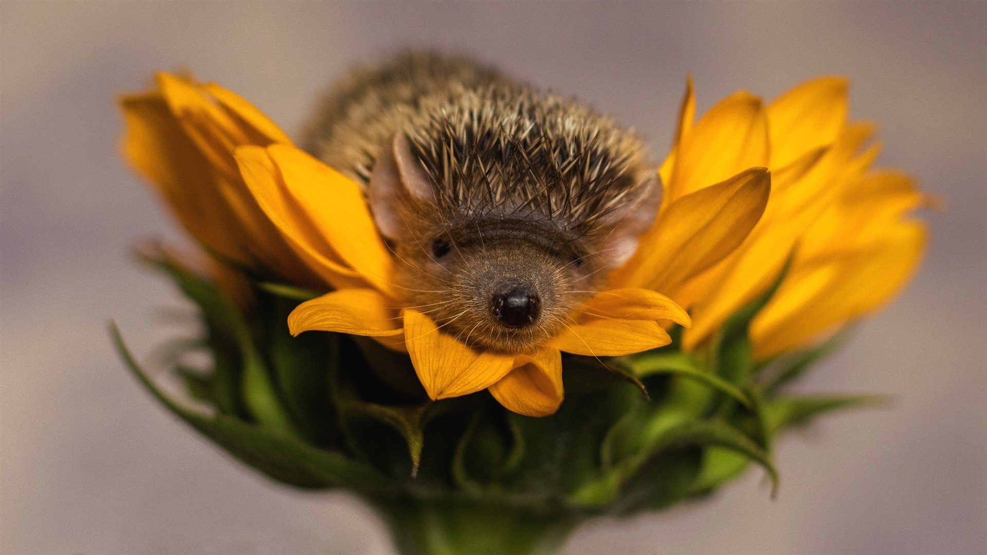 Cute Frog Wallpapers Hd Wallpaper Hedgehog Sunflower Yellow Petals 2560x1440 Qhd