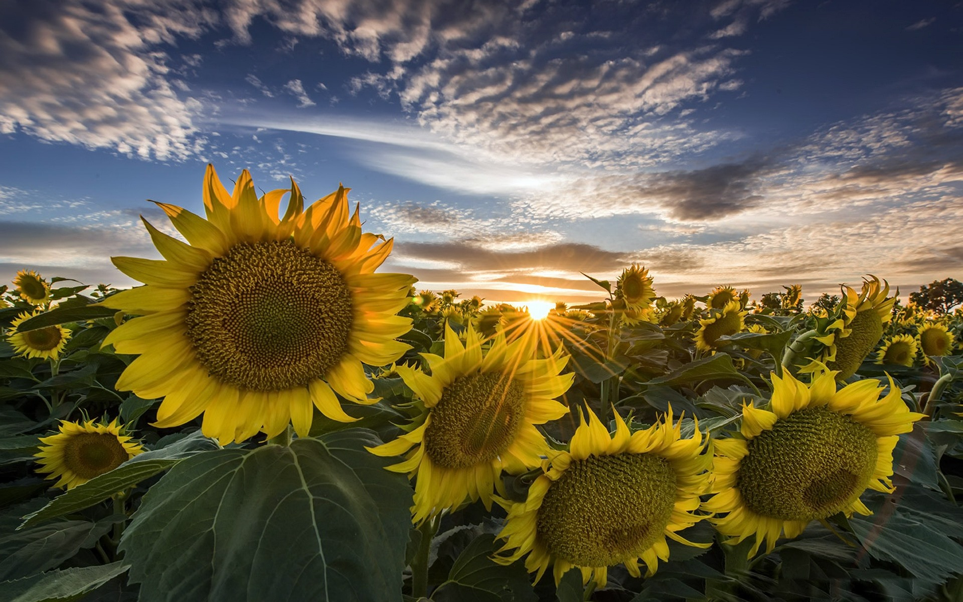 Cute Love Wallpaper Iphone 4s Sonnenblumen Sonnenaufgang Sommer 1920x1200 Hd