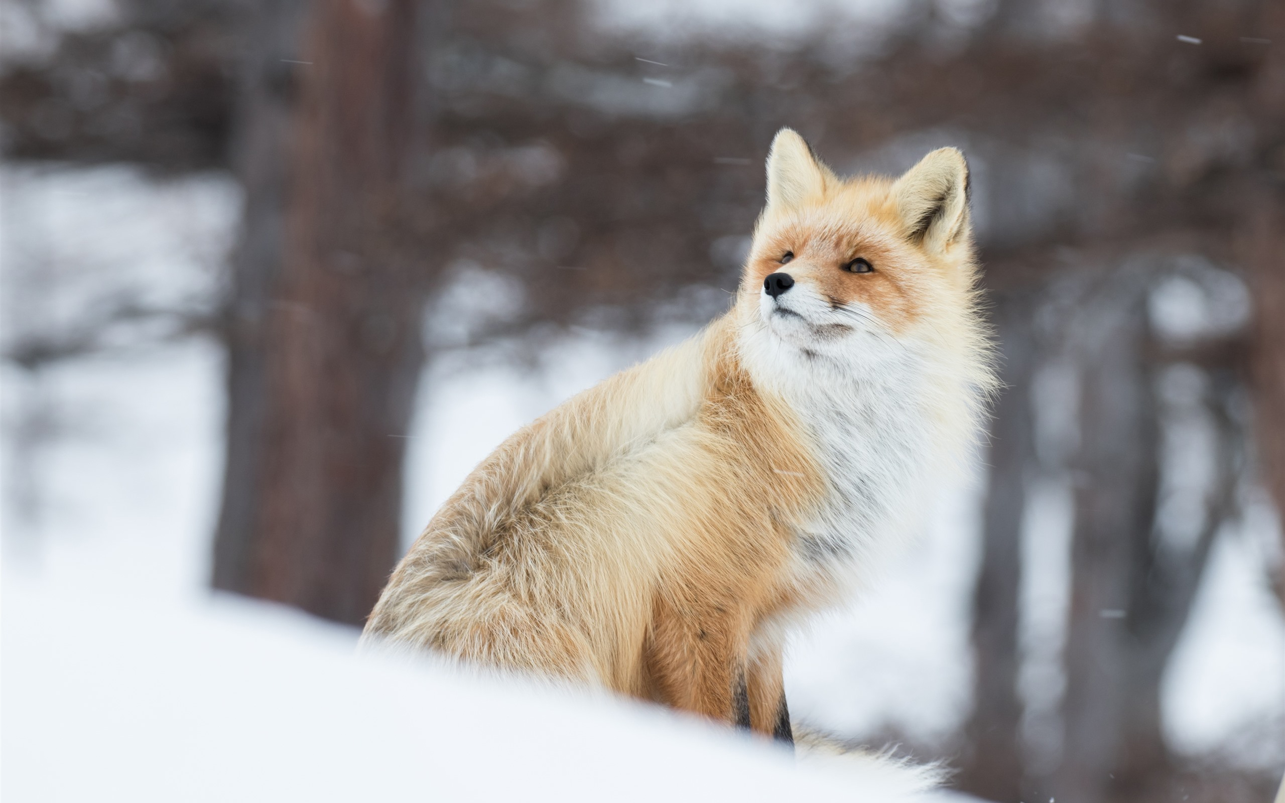 Cute Wallpapers For Iphone 5c Wallpaper Animal In Winter Fox Snow 3840x2160 Uhd 4k