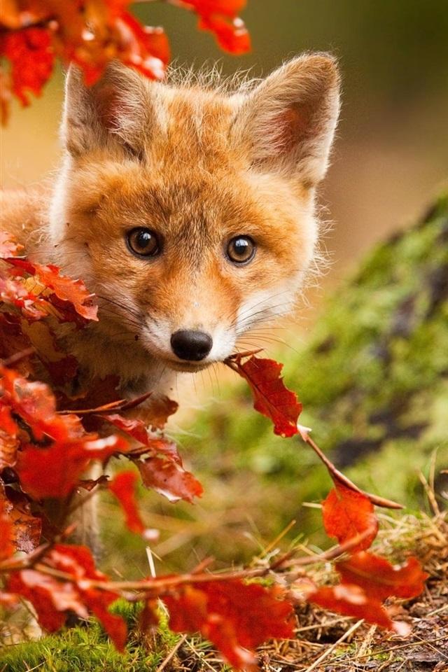 Iphone Wallpaper Fall Leaves Обои Симпатичная лиса осенью красные листья 1920x1440 Hd