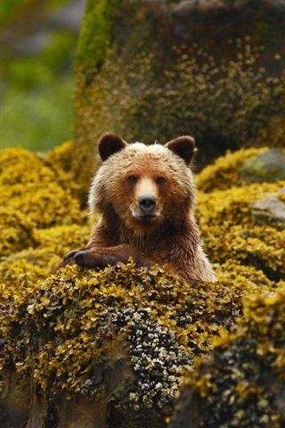 grizzly bear canada british