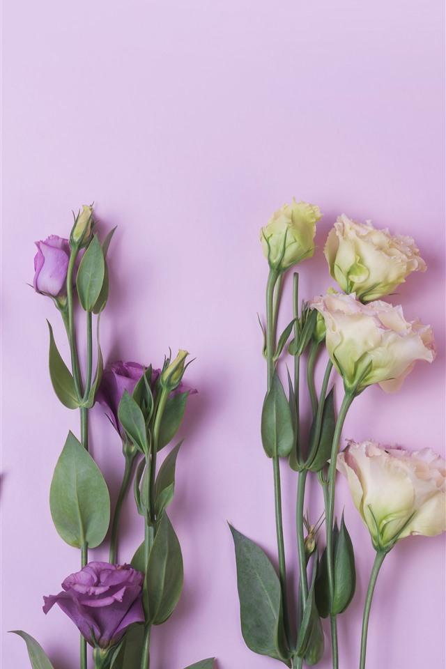 Hd Best Wallpapers For Iphone 壁纸 粉红色,黄色,紫色,洋桔梗花 5120x2880 Uhd 5k 高清壁纸 图片 照片