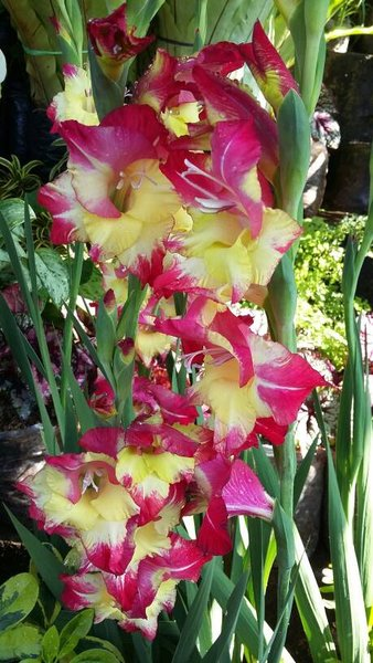 Umbi Bibit Bunga Gladiol Yellow Red