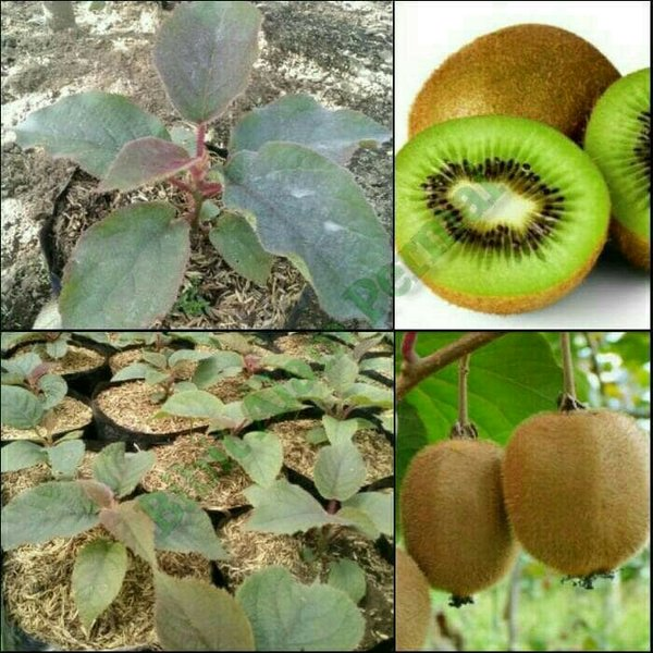 bibit buah green kiwi