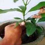 How To Grow Mango Bonsai From Seed Part 2 Wiring Bonsai Tips Care Mammal Bonsai Video Dailymotion