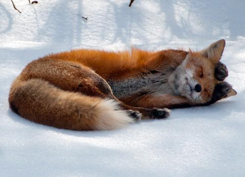 Christmas Colors Fox Snow Image 249063 On