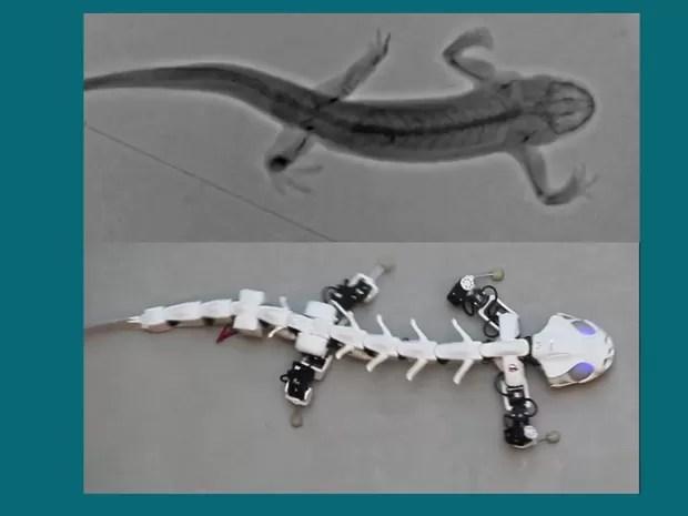 Pesquisa usou raios-X para mapear movimentos do anfíbio e conseguiu criar robô de rara versatilidade. (Foto: BBC)