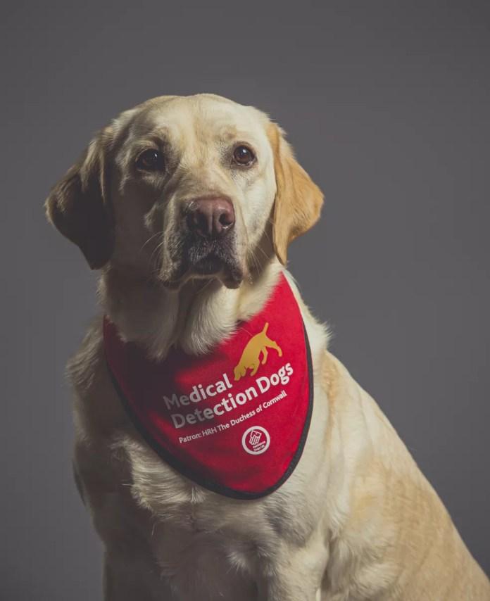 A cachorrinha Lexi, da raça labrador, foi treinada para detectar a Covid-19 em um estudo no Reino Unido. — Foto: Neil Pollock/MDD