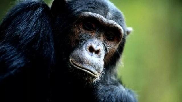 Huffman precisava provar que os chimpanzés sabiam o que estavam fazendo ao consumir remédios naturais — Foto: Getty Images via BBC