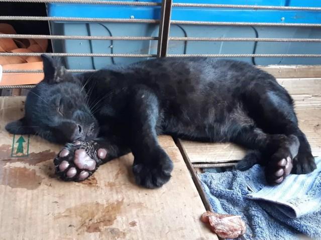 Filhote de onça pintada é macho e está desnutrido — Foto: Sema-MT/Assessoria