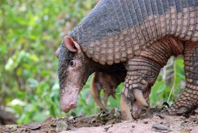 Exemplar de tatu-canastra, espécie rara de ser vista e que contribui indiretamente na preservação de outros animais (Foto: Divulgação/Projeto Tatu-canastra)