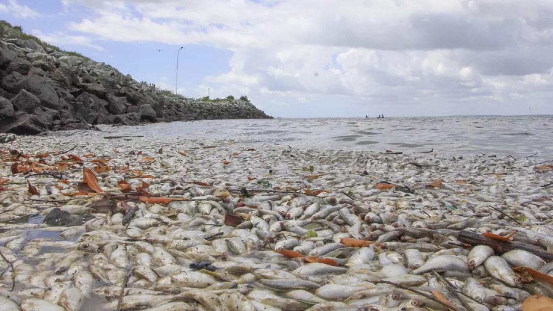 Centenas de peixes mortos em São José de Ribamar (Foto: Divulgação / Semam)