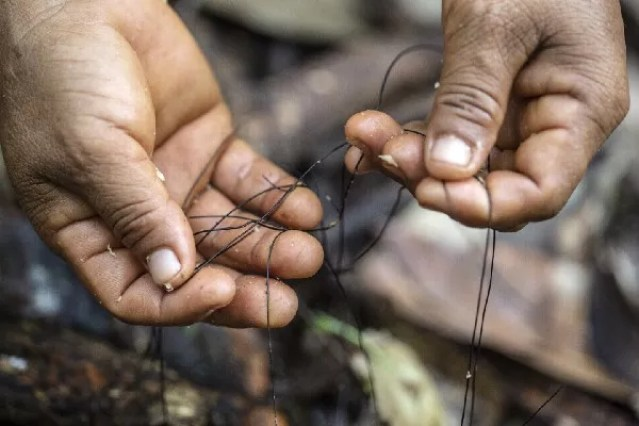 Mulher manuseia o përsi, fungo utilizado na cestaria yanomami, coletado em floresta na comunidade de Maturacá, Terra Indígena Yanomami (AM) (Foto: Rogério Assis / ISA)