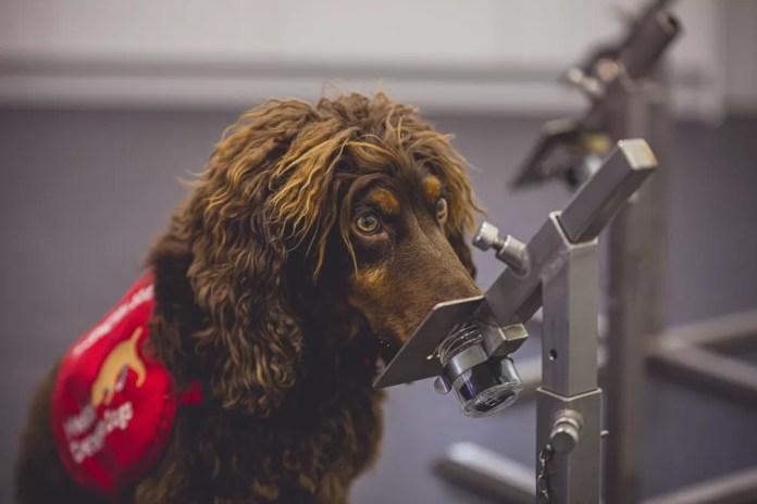 O cãozinho Asher, da raça cocker spaniel, foi um dos cachorros treinados para detectar a Covid-19 em estudo no Reino Unido. — Foto: Neil Pollock/MDD