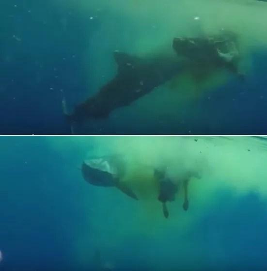 Banquete inusitado para um tubarão