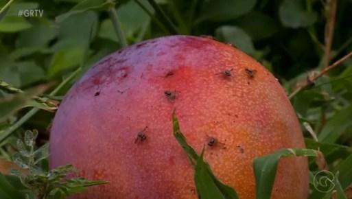 Mosca-das-frutas é uma praga que preocupa agricultores, que temem o reflexo nas exportações — Foto: Reprodução/ TV Grande Rio
