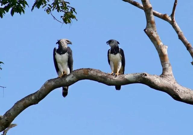 Rondônia tem 21 ninhos de gavião-real sendo monitorados. — Foto: Carlos Tuyama/Arquivo pessoal
