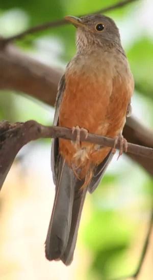PSIU O sabiá-laranjeira canta de madrugada e os paulistanos dizem que não conseguem dormir (Foto: Wikimedia Commons)