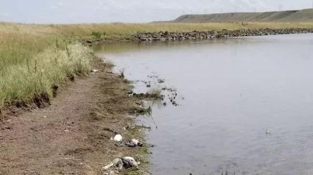 Milhares de aves foram encontradas mortas nos EUA (Foto: Divulgação/ Montana FWP)