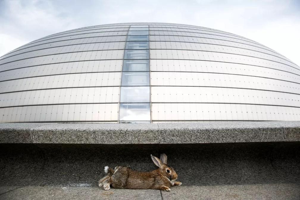 Um coelho é visto em frente ao National Centre for the Performing Arts, em Pequim, na China (Foto: Thomas Peter/Reuters)