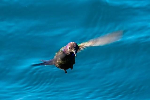 Comum até mesmo em grandes metrópoles, beija-flor-tesoura surpreendeu observadores em alto mar — Foto: Rita Carvalho/VCnoTG