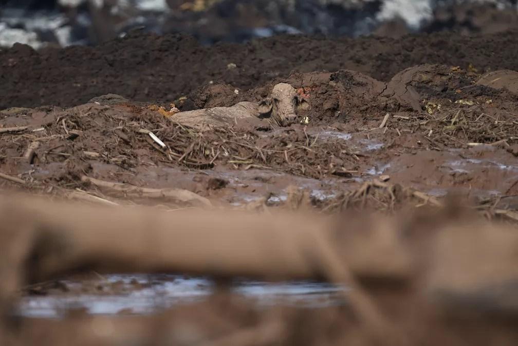 Vaca atolada na lama que vazou da barragem em Brumadinho — Foto: AFP/Douglas Magno