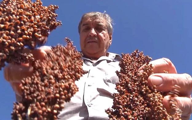 Sorgo é mais barato que milho e pode ser substituído sem prejuízos aos animais (Foto: Reprodução/TV Mirante)