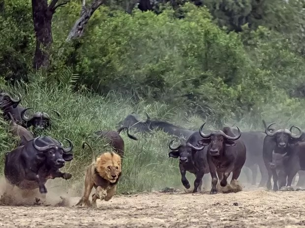 Um sul-africano flagrou uma cena impressionante durante um passeio no Parque Nacional de Kruger, na África do Sul. Dave Woollacott, de Joanesburgo, flagrou o momento em que um leão executa um ataque frustrado a um grupo de búfalos, e acaba sendo afugentad (Foto:  Dave Woollacott/Caters News)