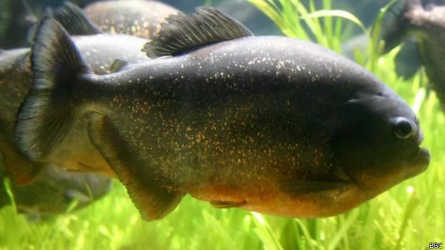 Piranha-vermelha é comum no rio Paraná e pode ser mais agressiva durante ondas de calor (Foto: BBC)