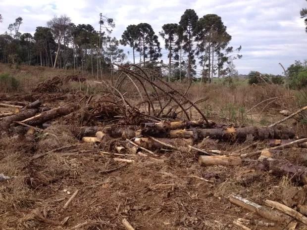 Durante as fiscalizações na região de Palmas (PR), técnicos encontraram várias áreas desmatadas; entre as espécies derrubadas estão araucárias e imbuias (Foto: Adriana Loduvichack/RPC)