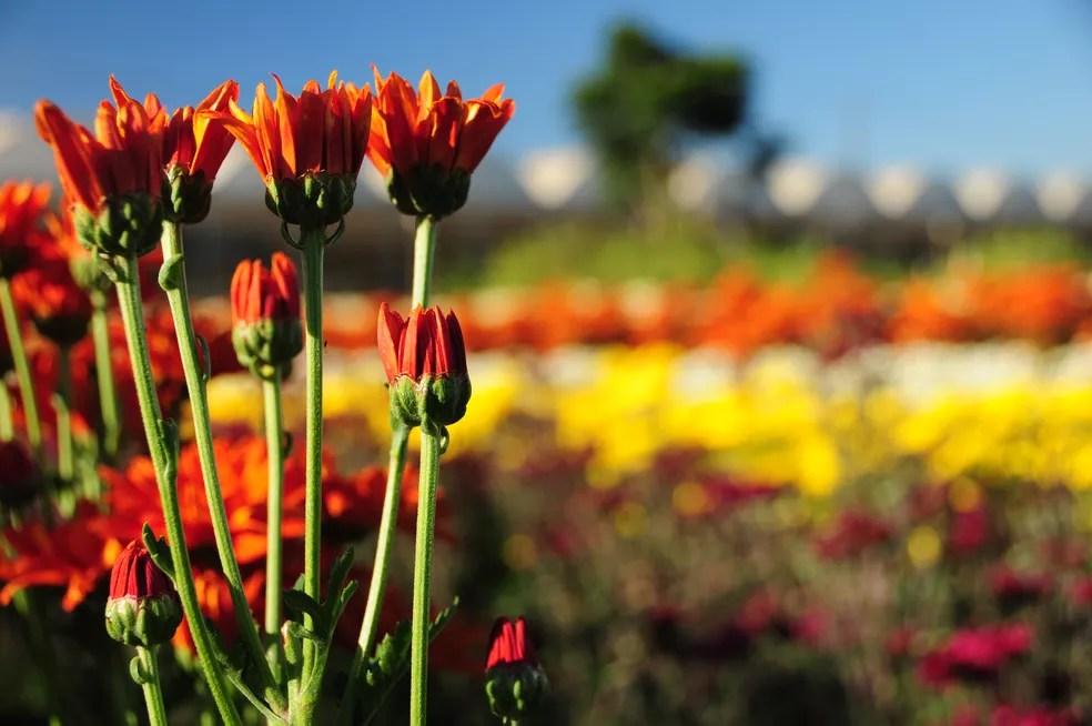 Campos de flores em Holambra (Foto: Raul Pereira/G1)