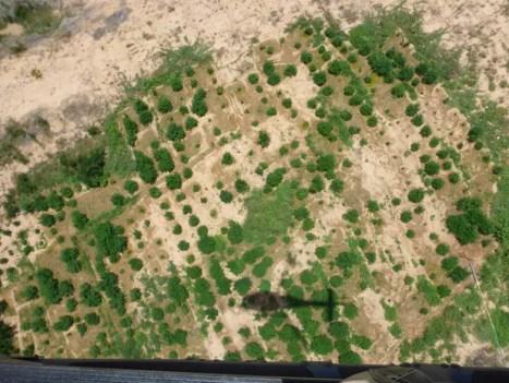 97 plantios de maconha foram localizados no Sertão de PE (Foto: Divulgação/ PF)
