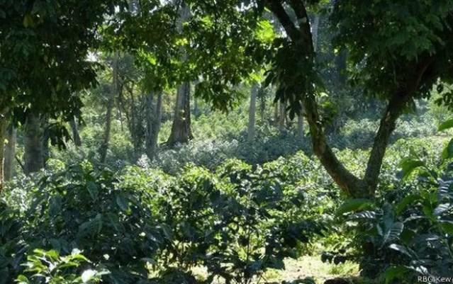 Cultivo de café na Etiópia, onde surgiu a popular espécie arábica  (Foto: RBG KEW/BBC)