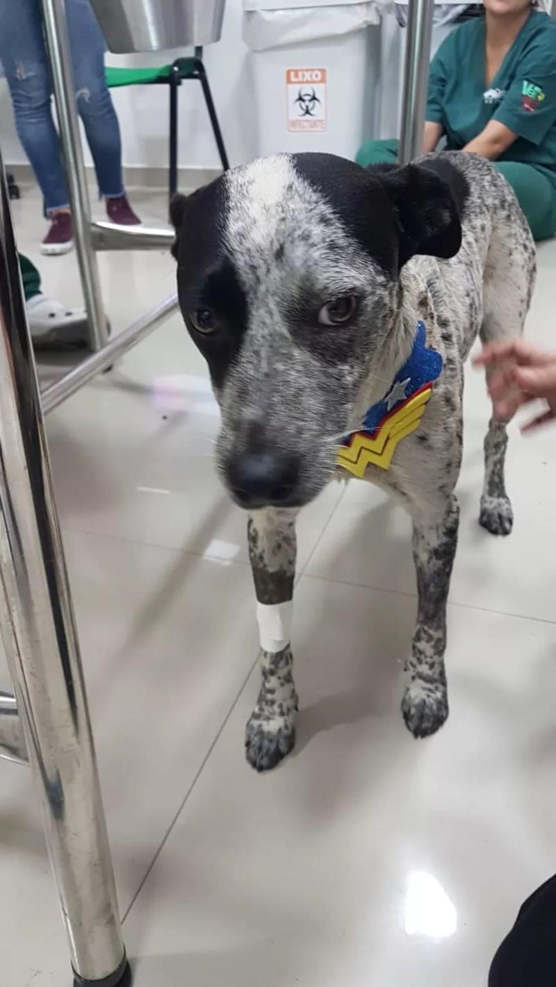 """Cadelinha """"Pintada"""" em recuperação no hospital veterinário — Foto: Fernanda Risoli/Divulgação"""