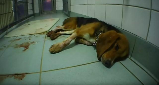 Beagle em laboratório acusado por ONGs internacionais de causar maus-tratos a cobaias — Foto: Reprodução/SOKO