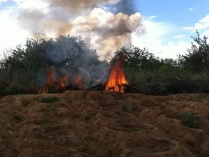 Plantação de maconha incinerada (Foto: Divulgação/Polícia Federal)