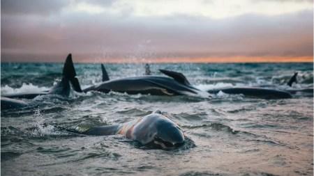 As baleias choravam e gritavam umas para as outras, lembra Liz, que ficou com elas no mar até chegar ajuda — Foto: Liz Carlson/BBC