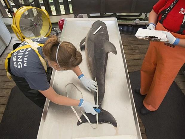 Visão de cima de golfinho morto antes da necrópsia (Foto: The Virginian-Pilot/L. Todd Spencer/AP)