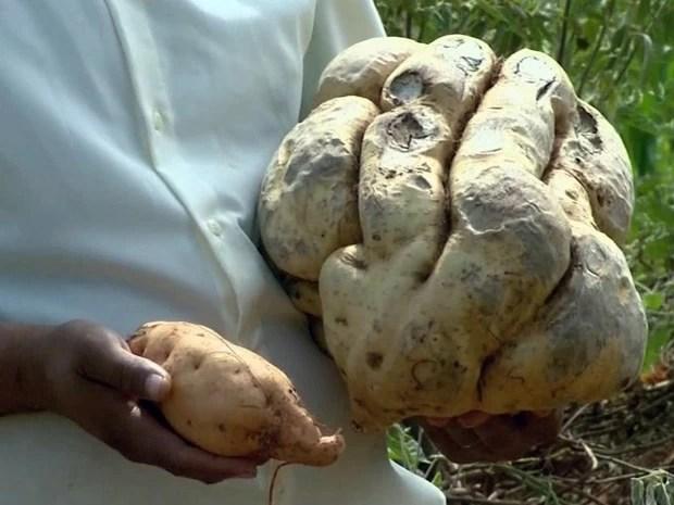 Batata doce colhida em Monte Santo de Minas pesa 11 quilos (Foto: Luciano Tolentino / EPTV)