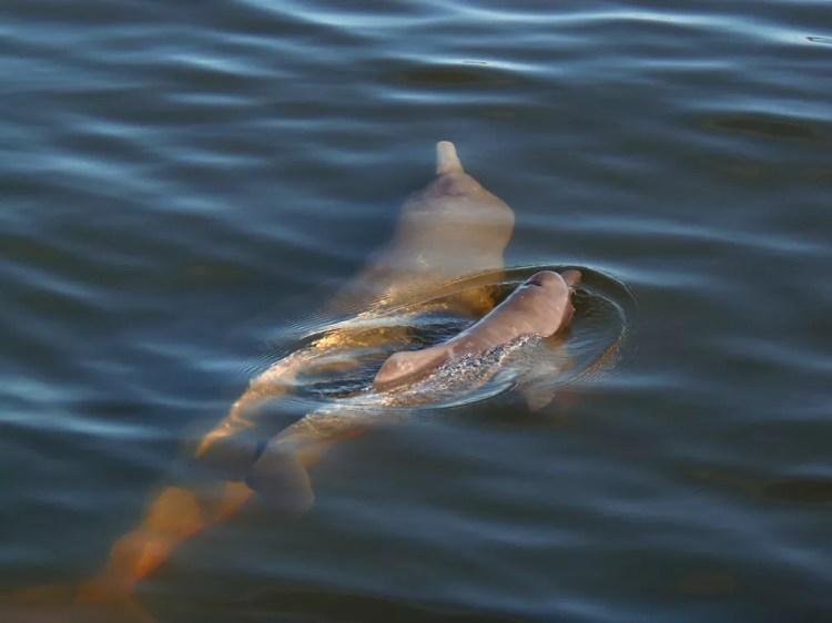 Inia araguaiaensis, um novo mamífero aquático de grande porte e coloração distinta (Foto: Gabriel Melo Santos/WWF)