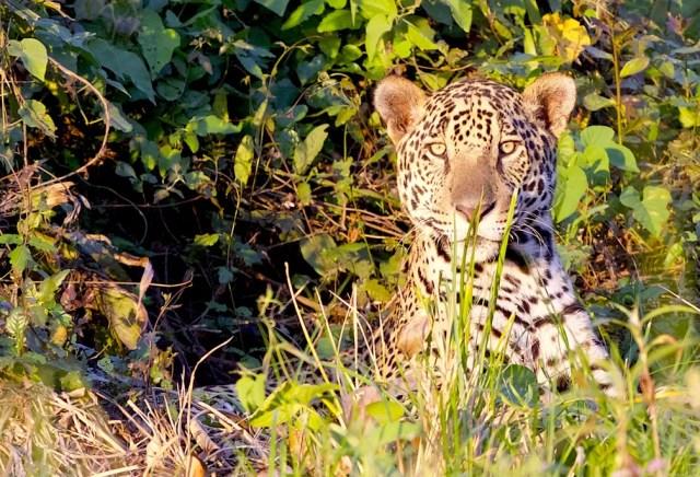 Douglas Brian Trent se apaixonou por onças-pintadas no Pantanal de Mato Grosso — Foto: Douglas Brian Trent/Arquivo pessoal