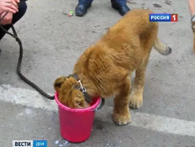Crianças acharam filhote de leão e o levaram para escola. (Foto: Reprodução)