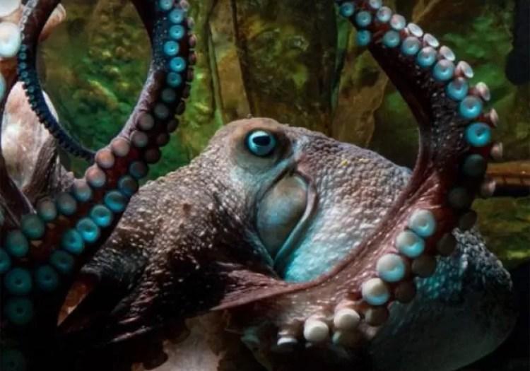 Povo escapou do aquário ao aproveitar pequena abertura em seu tanque  (Foto: Reprodução/YouTube/RNZ)