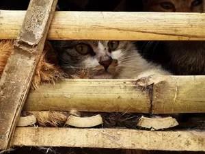 Gatos eram transportados em caixas de bambu (Foto: STR/AFP)